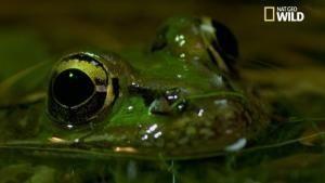 Des grenouilles cannibales vidéo