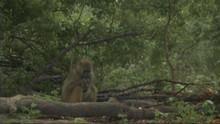 Les babouins du marais Voir la fiche programme