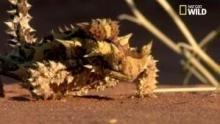 Le moloch horridus, ou diable cornu Voir la fiche programme