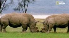 Combat de rhinocéros Voir la fiche programme