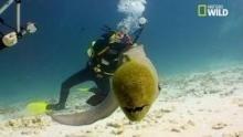 Une murène mange le pouce d'un plongeur Voir la fiche programme