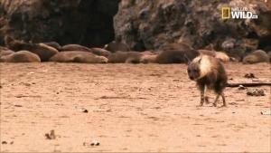 Tosca: storia di una iena foto