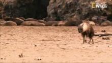 Tosca: storia di una iena programma