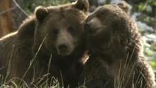 Des grizzlys et des loups Voir la fiche programme