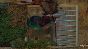Wildebeest Puke video