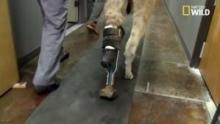 Un lama handicapé reçoit une prothèse Voir la fiche programme