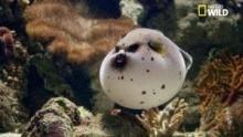 Le dangereux poisson-globe, boule de poison mortel ! Voir la fiche programme