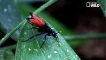 Les Pompiles, les guêpes chasseuses de mygales Voir la fiche programme