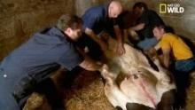 La caillette, le déplacement d'une partie de l'estomac d'une vache Voir la fiche programme