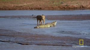 Croc vs Lion photo