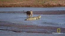 Croc vs Lion show