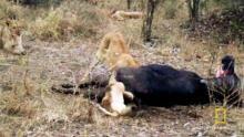 Stuck Lion Cub show