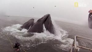 Presque avalé par une baleine vidéo