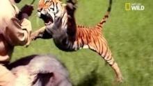 Un tigre bondit sur le gardien Voir la fiche programme