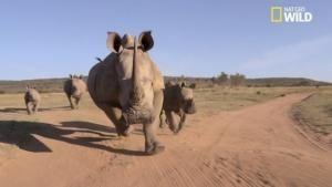 Buffle vs rhino vidéo