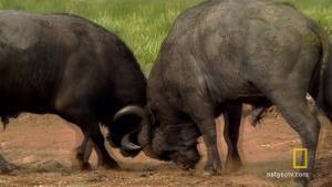 Deadly Buffalo photo