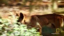 Kangaroos vs. Dingos show
