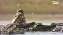 Les somptueuses mâchoires des crocodiles ! Voir la fiche programme