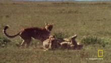 A Cheetah Brawl - Cat Fight - National Geographic Channel Programma