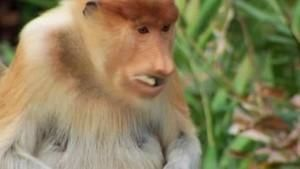 The proboscis monkey photo