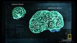 Looking at an Elephant's Big Brain photo
