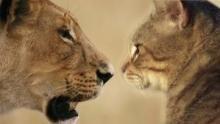 Gato casero vs grandes felinos Serie