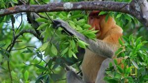 Proboscis Monkeys Jump Around Video