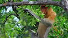 Proboscis Monkeys Jump Around show