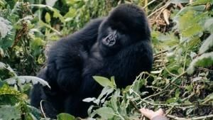 How did Dian help the Mountain Gorilla population in Rwanda? photo
