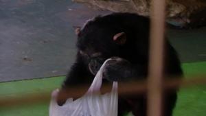American Vs Wild African Chimps photo