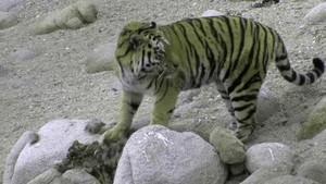 Den hemmelige skov Amur tigere Billed