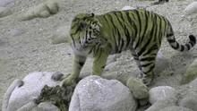 Den hemmelige skov Amur tigere Program