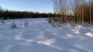 Sibirien Eurasiske ulve Billed