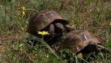 Mauriske landskildpadders kurmageri Program