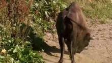 Den store kløft Europæisk højlands bison Program