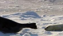 Arktis Grønlandssæler Program