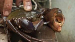 Mangrove krabber og ormehodefisken Bilde