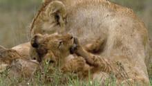 Lions Voir la fiche programme
