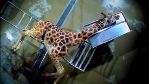 Autopsie giraffe Foto