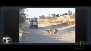 Lví souboj fotografie