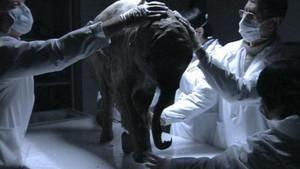 La deuxième vie du bébé mammouth photo