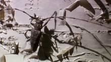 Long Horned Beetle Versus Ants show