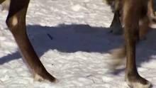 Sibirski severni jelen Oddaja