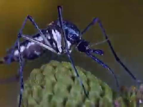 How Mosquitos Spread Malaria
