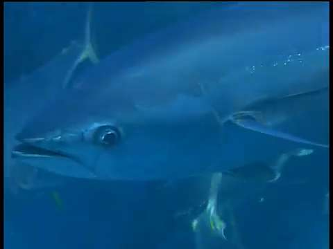 Divers catch tuna in shark waters