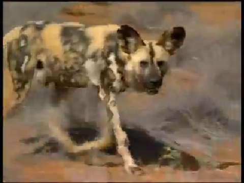African wild dogs&#039; bite