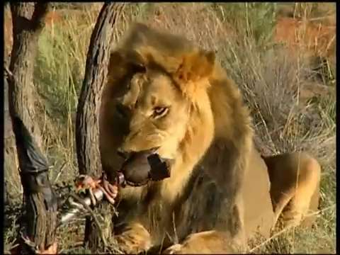 How strong is a lion's bite?