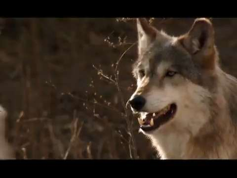 Nat Geo Explorer tests protective gear with wolves