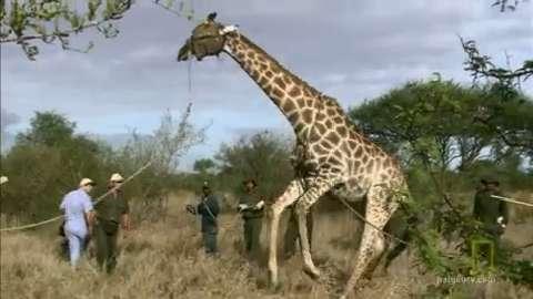 Giraffe Resists Rescue