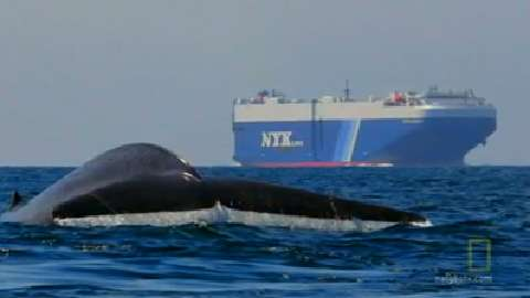 Blue Whales Swim in Busy Shipping Lanes